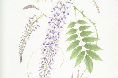 Wisteria floribunda by Noriko Fujita, Watercolour on paper